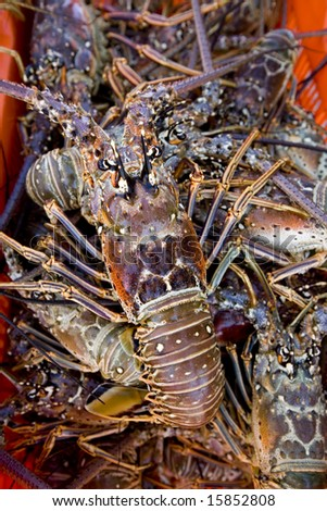 Lobster hauled in recent catch - stock photo