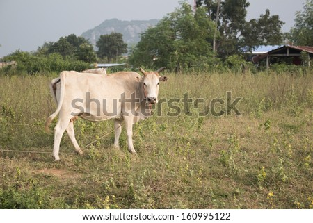 local cattle farming - stock photo