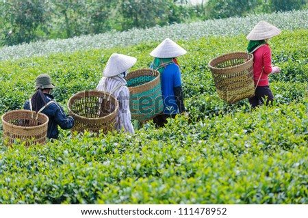 Local women with vietnamese conical hat and carry basket on the tea field, Bao Loc, Lam Dong, Vietnam - stock photo