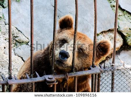 Locked bear in the zoo - stock photo
