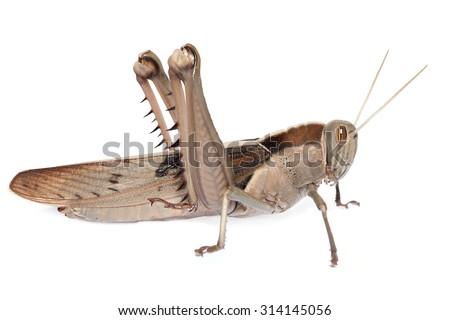 Locust grasshopper - stock photo