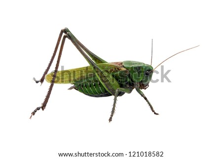 Locust isolated on the white background - stock photo