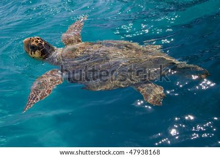 Loggerhead Sea Turtle - stock photo