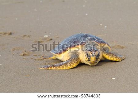 Loggerhead Sea Turtle (Caretta caretta) - stock photo