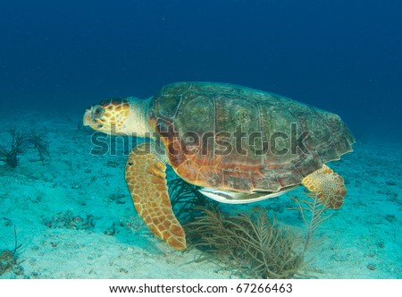 Loggerhead Sea Turtle-Caretta caretta, swimming above a sandy bottom at a depth of sixty feet off Deerfield Beach Florida.