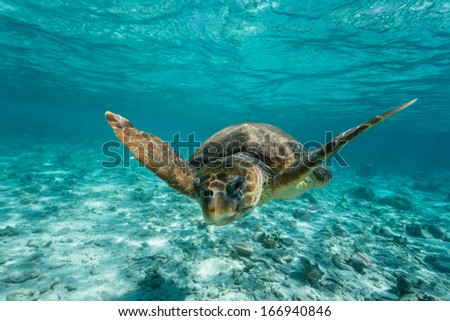 Loggerhead sea turtle Caretta caretta, swimming toward photographer through clear turquoise tropical water - stock photo