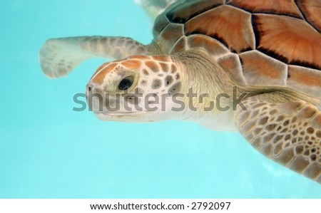 Loggerhead water turtle swimming - over turquoise background. Close-up - stock photo
