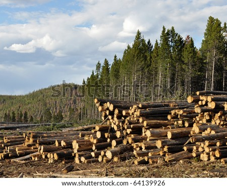 Logging pine trees in this Colorado forest. Clear cutting. - stock photo