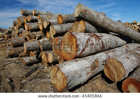 Logs at a Sawmill: Logs stacked high in long rows await cutting and finishing at a Virginia sawmill. - stock photo