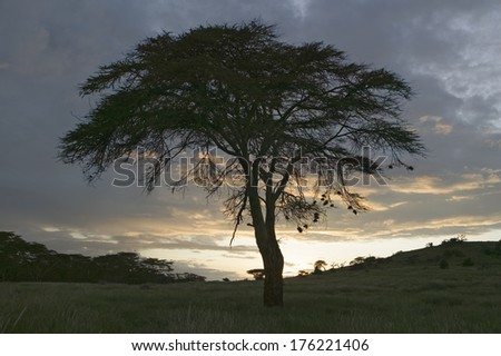 Lone acacia tree at sunset at the Lewa Wildlife Conservancy, North Kenya, Africa - stock photo