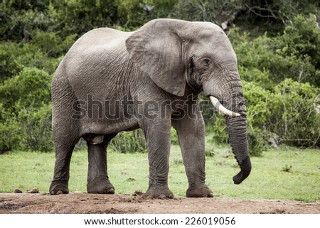 Lone African elephant bull in the wild African bush near a water hole. - stock photo