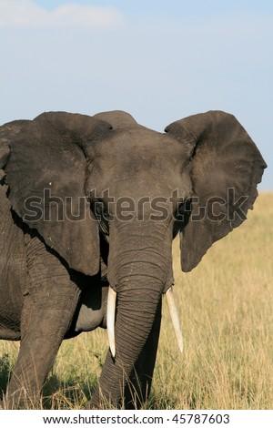 Lone African elephant in Kenya - stock photo