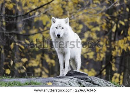 Lone Arctic Wolf - stock photo