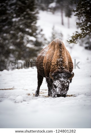 Lone bison foraging in the Snow in Yellowstone National Park, Wyoming - stock photo