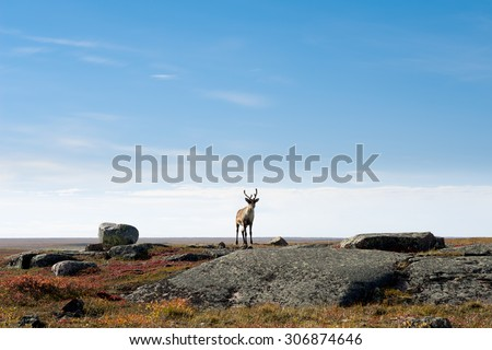 Lone Caribou on the Arctic Tundra, Nunavut, Canada - stock photo
