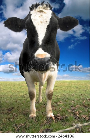 lone cow - stock photo