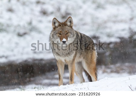 Lone Coyote in winter - stock photo