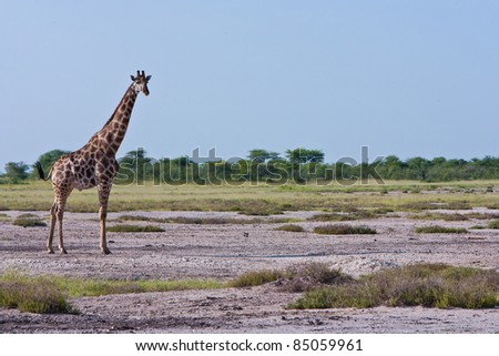 Lone Giraffe in Africa Plains