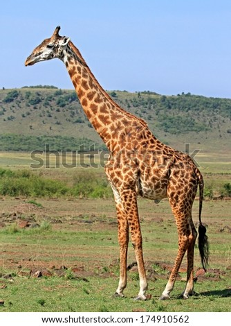 Lone Giraffe on the Plains of Africa - stock photo