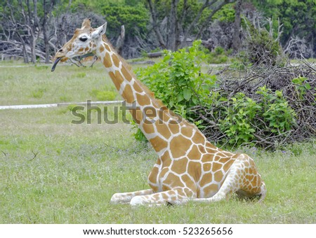 Lone Giraffe with extended tongue in repose in grassland
