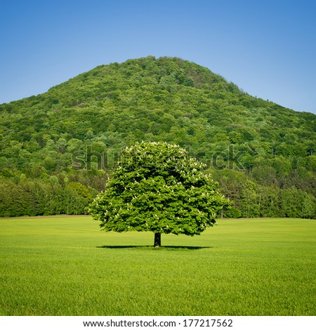 Lone green horse chestnut tree in spring with green hill in the background - stock photo