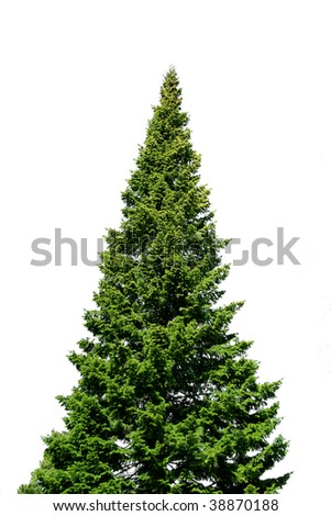 Lone green spruce tree isolated on white