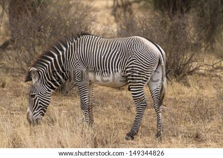 Lone Grevy�´s zebra stallion - stock photo