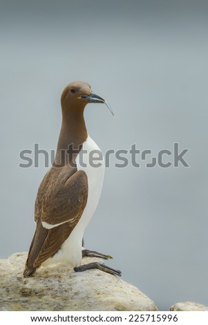 Lone Guillemot (Uria aalge) standing on a rocky ledge with a sandeel in its beak. Shot against out of focus sea. Vertical format with copy space.  - stock photo