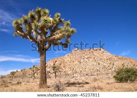 Lone joshua tree against a blue sky, Joshua Tree National Park - stock photo