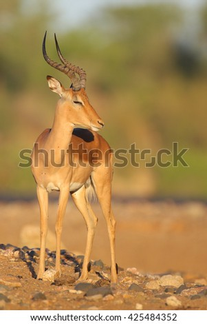 Lone male impala antelope standing in dry riverbed