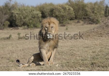 Lone male lion - stock photo
