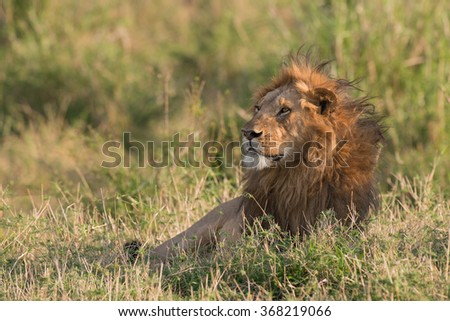 Lone Male Lion laying in the long grass at sunrise
