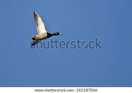 Lone Mallard Duck Flying in a Blue Sky - stock photo