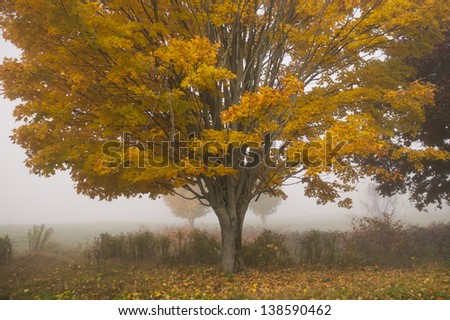 Lone maple tree during fall foliage, Stowe Vermont, USA