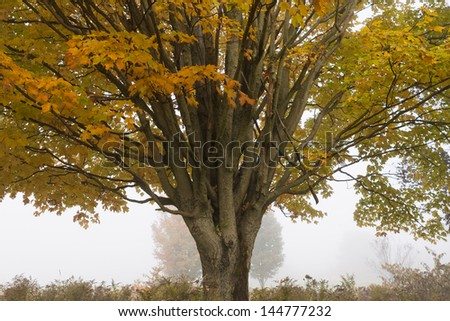 Lone maple tree in early morning fog during fall foliage season in Stowe Vermont, USA - stock photo