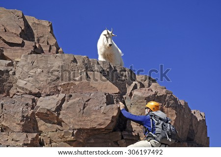 Lone mountain climber and Mountain Goat on Pyramid Peak, Colorado - stock photo