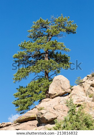 Lone old ponderosa pine tree grows from rocky plateau by Turtle Rocks near Buena Vista Colorado, famous for climbing - stock photo