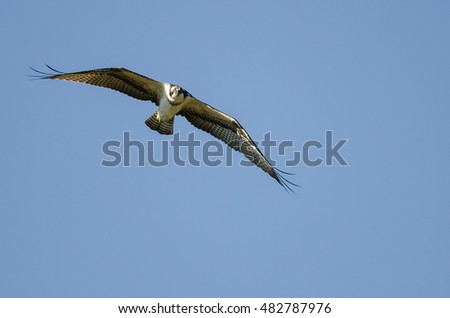 Lone Osprey Making Direct Eye Contact While Flying in Blue Sky