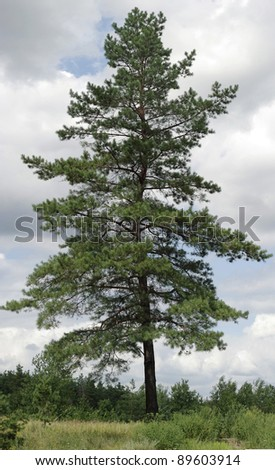 lone pine green against the sky - stock photo
