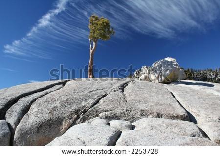 lone pine tree growing in granite crevice in yosemite national park california - stock photo