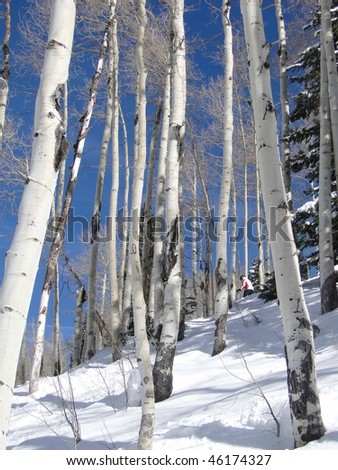 Lone skier weaves her way through bare winter aspens   Steamboat Springs,  Colorado - stock photo