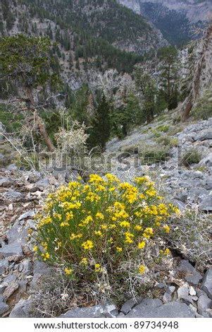 Lone stand of flowers amidst the rocky landscape of Nevada from Mount Charleston - stock photo