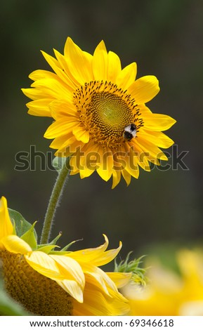 Lone sunflower on a green background with a bee collecting pollen