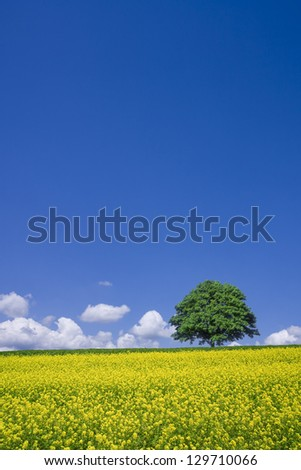 lone tree and rape fields - stock photo