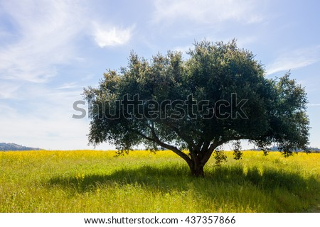 Lone tree in a field with soft clouds in a blue sky. Lush green single tree in a field of yellow mustard flowers. Wispy clouds in the background. Serene, tranquil, happy scenery. - stock photo