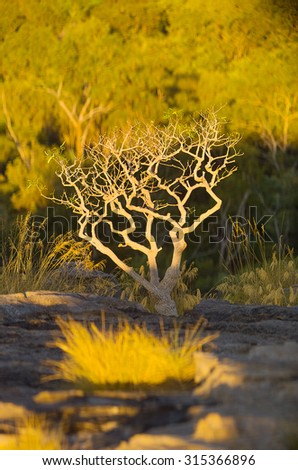 Lone tree in late afternoon sunlight growing at Ubirr, East Alligator region of Kakadu National Park,Northern Territory, Australia. It consists of rock outcrops on the edge of the Nadab floodplain - stock photo