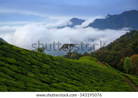 Lone tree over tea plantations in Munnar, Kerala, South India.