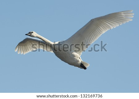 Lone Trumpeter Swan in flight - stock photo