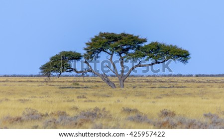 Lonely acacia tree in yellow grass on a background of blue cloudless sky in the Etosha National Park - Namibia, South-West Africa. - stock photo