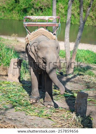 Lonely baby elephant standing around the stump chained in a chain and keep in the trunk of bamboo on a background of trees and rivers - stock photo